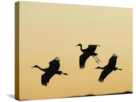 Sandhill Cranes Flying at Dusk (Grus Canadensis), Bosque Del Apache, New Mexico, USA-Tom Walker-Stretched Canvas Print