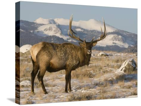 Elk (Cervus Elaphus), Yellowstone, Wyoming-Tom Walker-Stretched Canvas Print