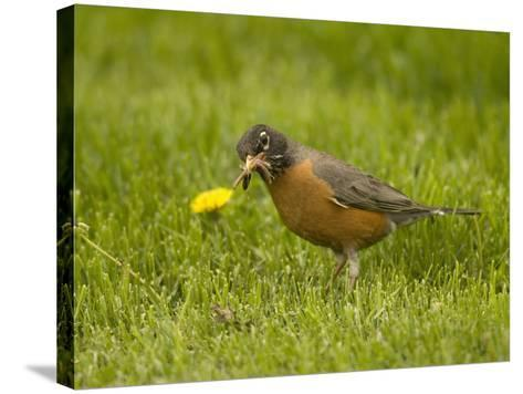 American Robin with an Earthworm in its Bill (Turdus Migratorius), North America-Tom Walker-Stretched Canvas Print