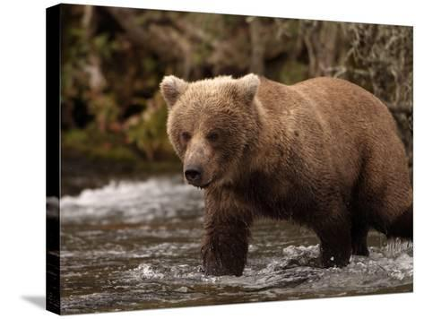 Grizzly Bear (Ursus Arctos) Fishing for Salmon in a Stream, Alaska, USA-Dave Watts-Stretched Canvas Print