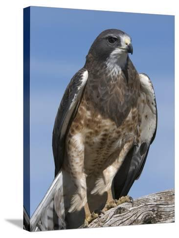 Swainson's Hawk (Buteo Swainsonii), San Juan Mountains, New Mexico-Tom Walker-Stretched Canvas Print