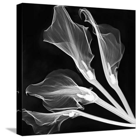 X-Ray of Lily Flowers-George Taylor-Stretched Canvas Print
