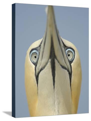 Close Up of the Head of a Northern Gannet During Sky Pointing Courtship Display, Scotland, UK-Solvin Zankl-Stretched Canvas Print