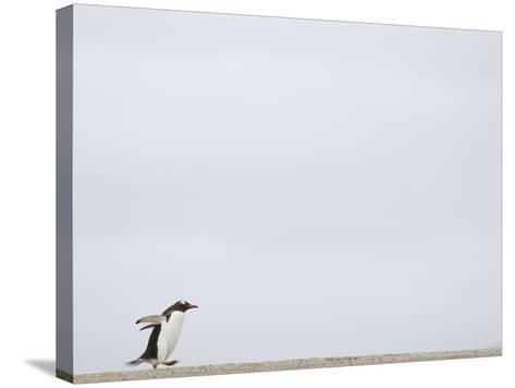 Commuting Between the Ocean and the Rookery the Gentoo Penguins (Pygoscelis Papua)-Solvin Zankl-Stretched Canvas Print