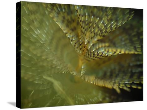 European Fan Worm (Sabella Spallanzanii), Sabellidae, San Pietro, Sardinia, Mediterranean Sea-Solvin Zankl-Stretched Canvas Print