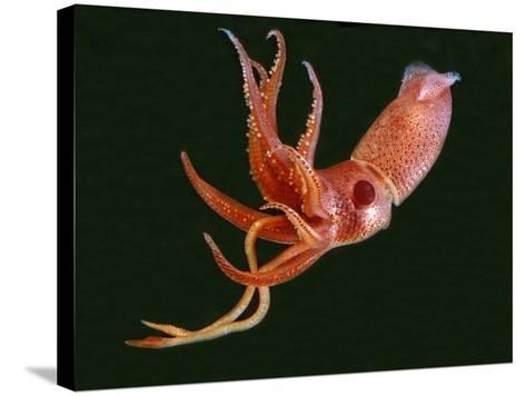 Bioluminescent Cock-Eye Squid (Histioteuthis Heteropsis)-David Wrobel-Stretched Canvas Print