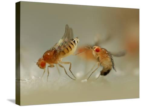 Mating Behavior of Fruit Flies (Drosophila Melanogaster) Showing Female Rejecting a Male-Solvin Zankl-Stretched Canvas Print