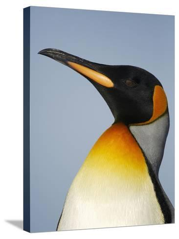 King Penguin Head (Aptenodytes Patagonicus)-Solvin Zankl-Stretched Canvas Print