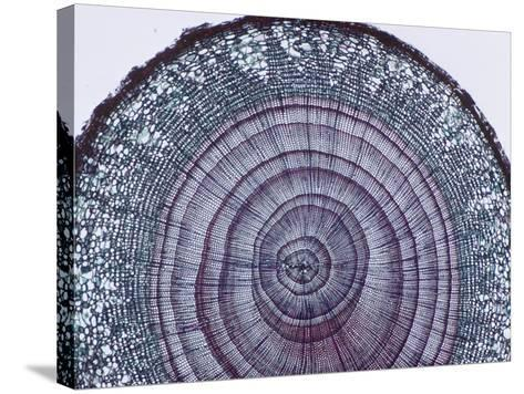 Cross-Section of Arbor Vitae Stem (Thuja), LM X9-Biodisc-Stretched Canvas Print