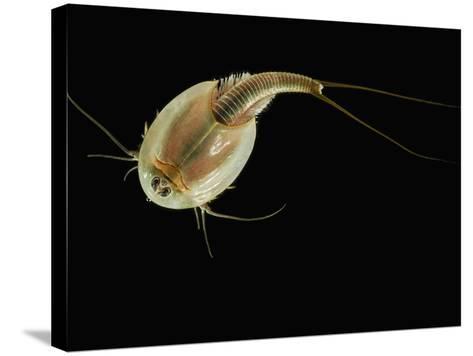Summer Tadpole Shrimp (Triops Longicaudatus)-Solvin Zankl-Stretched Canvas Print