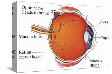 Illustration of the Normal Anatomy of the Eye from a Mid-Line Cut-Away View Showing the Optic Nerve-Nucleus Medical Art-Stretched Canvas Print
