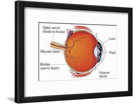 Illustration of the Normal Anatomy of the Eye from a Mid-Line Cut-Away View Showing the Optic Nerve-Nucleus Medical Art-Framed Art Print