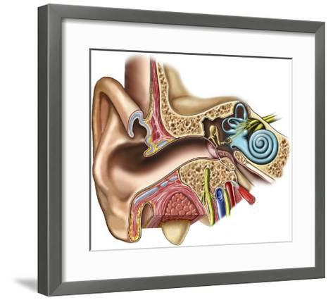 The Anatomy of the Outer, Middle and Inner Ear from an Anterior (Front) Coronal (Cut-Away)-Nucleus Medical Art-Framed Art Print