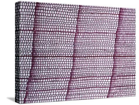 Cross-Section of an Alaska Cedar Stem (Chamaecyparis Nootkatensis), LM X17-Biodisc-Stretched Canvas Print