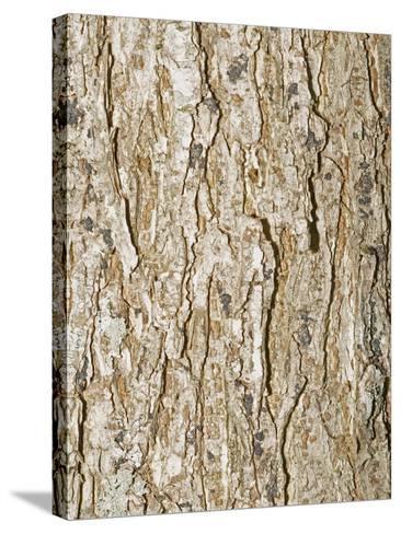 American Elm Tree (Ulnus Americana)-Scientifica-Stretched Canvas Print