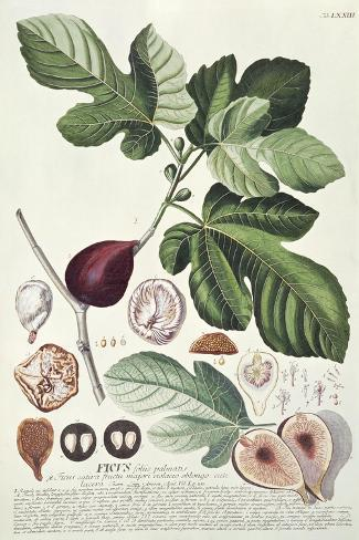 Ficus (Fig) (Coloured Engraving)-Georg Dionysius Ehret-Stretched Canvas Print