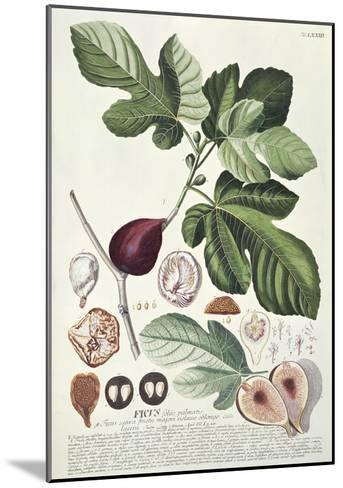 Ficus (Fig) (Coloured Engraving)-Georg Dionysius Ehret-Mounted Giclee Print