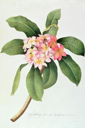 Plumeria-Georg Dionysius Ehret-Stretched Canvas Print