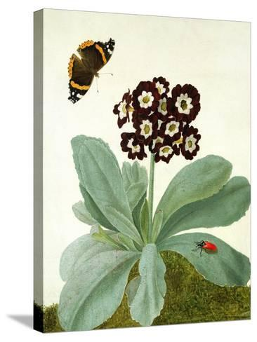 Primula Auricula with Butterfly and Beetle (Gouache over Pencil on Vellum)-Matilda Conyers-Stretched Canvas Print