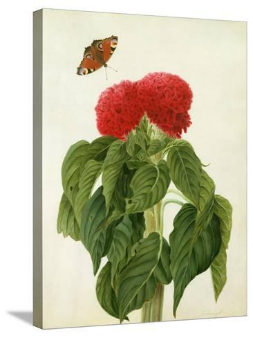 Celosia Argentea Cristata and Butterfly (W/C and Gouache over Pencil on Vellum)-Matilda Conyers-Stretched Canvas Print