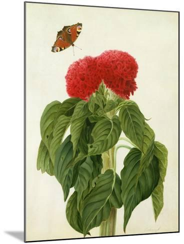 Celosia Argentea Cristata and Butterfly (W/C and Gouache over Pencil on Vellum)-Matilda Conyers-Mounted Giclee Print