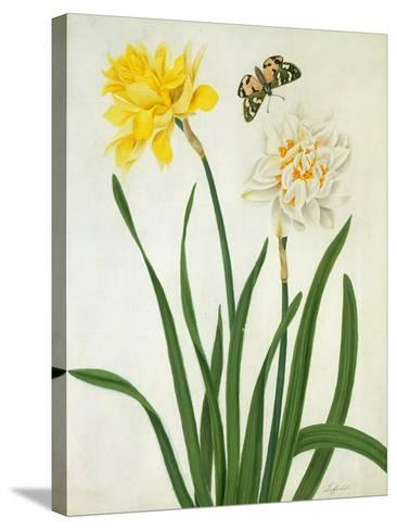 Narcissi and Butterfly (W/C and Gouache with Gold over Pencil on Vellum)-Matilda Conyers-Stretched Canvas Print