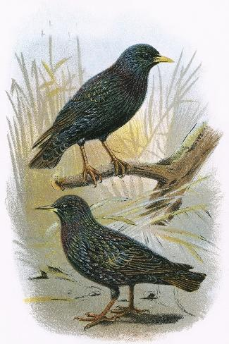 Common Starling (Top) and Intermediate Starling (Bottom)-English-Stretched Canvas Print