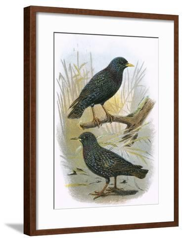 Common Starling (Top) and Intermediate Starling (Bottom)-English-Framed Art Print