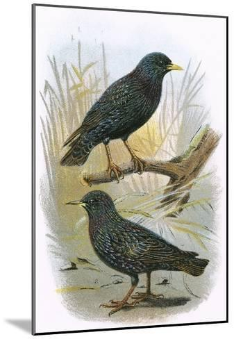 Common Starling (Top) and Intermediate Starling (Bottom)-English-Mounted Giclee Print