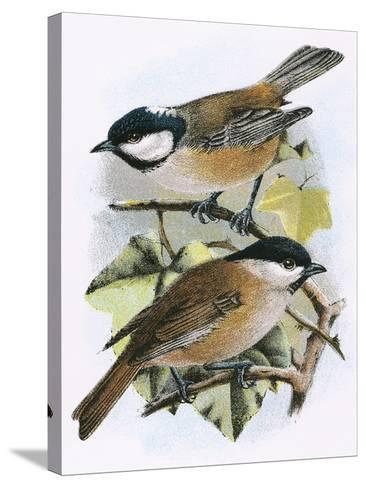 Coal Tit (Top) and Marsh Tit (Bottom)-English-Stretched Canvas Print