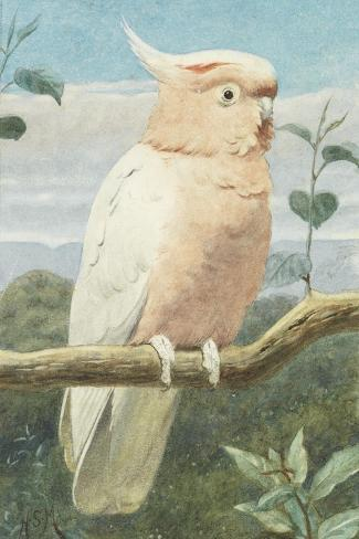 A Leadbetter's Cockatoo (W/C)-Henry Stacey Marks-Stretched Canvas Print
