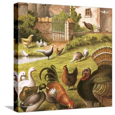 Poultry at a Farm-English-Stretched Canvas Print