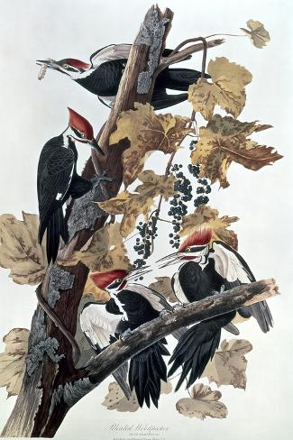 Pileated Woodpeckers-John James Audubon-Stretched Canvas Print