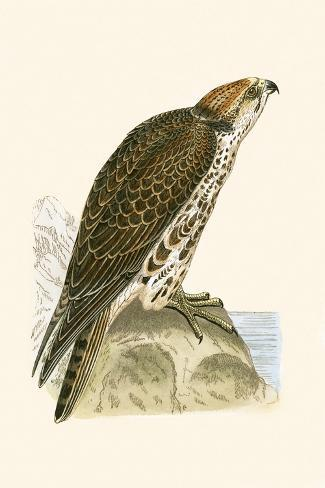 Saker Falcon,  from 'A History of the Birds of Europe Not Observed in the British Isles'-English-Stretched Canvas Print