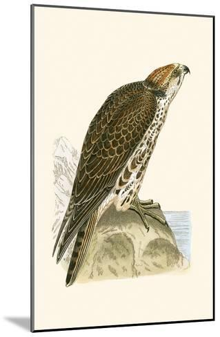 Saker Falcon,  from 'A History of the Birds of Europe Not Observed in the British Isles'-English-Mounted Giclee Print