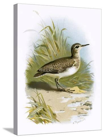 Sandpiper-English-Stretched Canvas Print