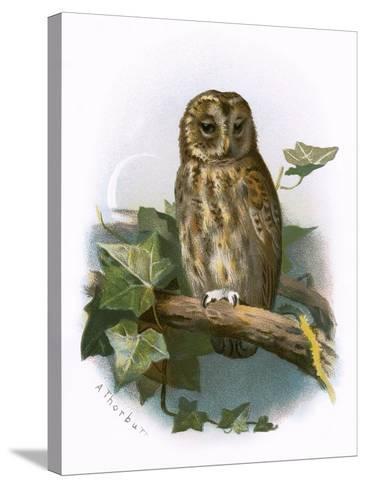 Tawny Owl-English-Stretched Canvas Print