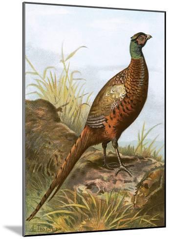 Pheasant-English-Mounted Giclee Print
