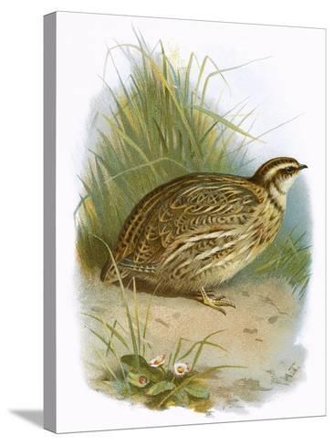 Quail-English-Stretched Canvas Print