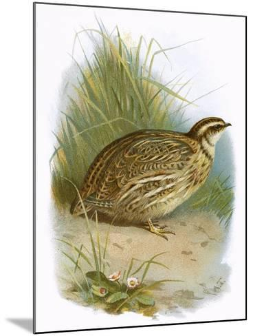 Quail-English-Mounted Giclee Print