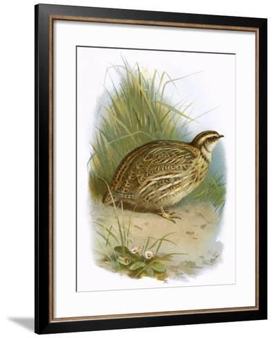 Quail-English-Framed Art Print