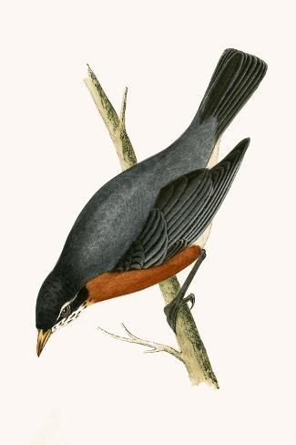 Red Breasted Thrush,  from 'A History of the Birds of Europe Not Observed in the British Isles'-English-Stretched Canvas Print