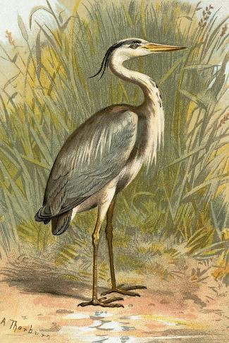 Heron-English-Stretched Canvas Print