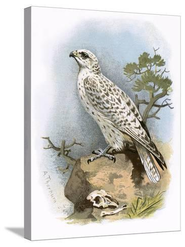 Gyr-Falcon-English-Stretched Canvas Print