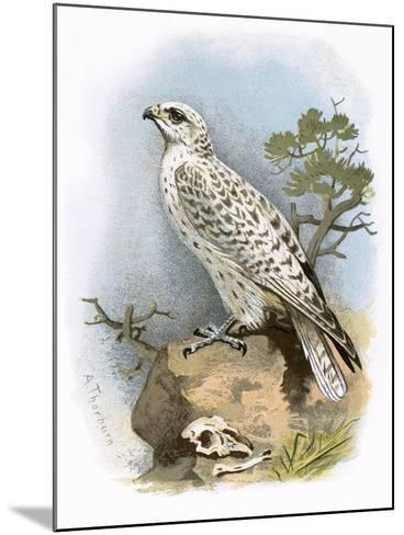 Gyr-Falcon-English-Mounted Giclee Print