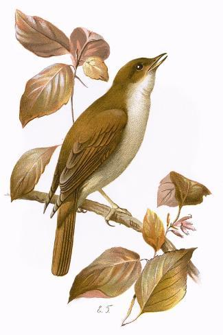 Nightingale-English-Stretched Canvas Print