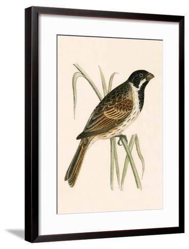 Marsh Bunting,  from 'A History of the Birds of Europe Not Observed in the British Isles'-English-Framed Art Print