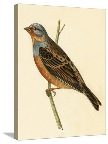 Cretzschmaer's Bunting,  from 'A History of the Birds of Europe Not Observed in the British Isles'-English-Stretched Canvas Print
