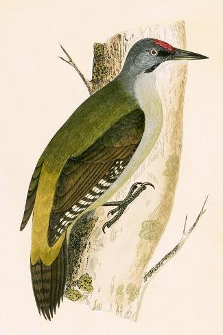 Grey Woodpecker,  from 'A History of the Birds of Europe Not Observed in the British Isles'-English-Stretched Canvas Print