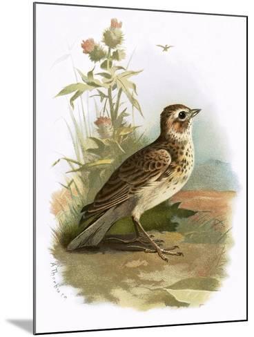 Skylark-English-Mounted Giclee Print